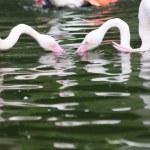 Flamingos — Stock Photo #7356897