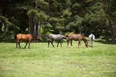 Group of horses in Gredos natural park — Stock Photo
