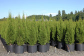 Pine tree seedlings in a nursery, Oregon. — Stock Photo