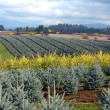 Seasonal changes in a tree farm Oregon. - Stock Photo
