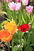 领域的花园里的郁金香. — 图库照片