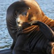 Stock Photo: Sea-lions basking at marinin AstoriOregon.