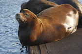 Sea-lions basking in a sun, Astoria Oregon. — Stock Photo