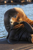 Sea-lions basking at a marina in Astoria Oregon. — Stock Photo