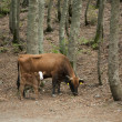 Cow and calf in the wood — Stock Photo