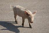 Porcinet curieux sur route — Photo