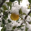 Royalty-Free Stock Photo: A lemon tree flooded by snow