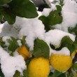 A lemon tree flooded by snow — Stock Photo