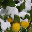 Stock Photo: Lemon tree flooded by snow