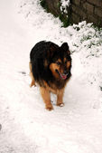 A police dog under a heavy snowfall — Stock Photo