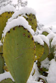 A prickly india submerged by snow — Stock Photo