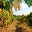 Organic vineyard in autumn - Stock Photo