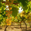 Organic vineyard in autumn — Stock Photo