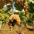 Organic vineyard in autumn — ストック写真