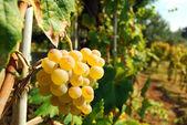 Organic vineyard in autumn — Stock Photo