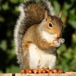 Grey Squirrel — Stockfoto #7291244