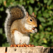 grey squirrel — Stock Photo