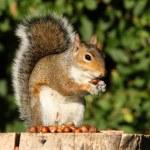 wiewiórka szara — Zdjęcie stockowe