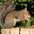 Grey Squirrel — Stockfoto #7291411
