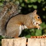 esquilo cinzento — Foto Stock