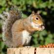 Grey Squirrel — Foto de Stock   #7291480