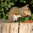 Portrait of a Grey Squirrel — Stockfoto