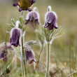"Stock Photo: ""Black Pulsatilla"""