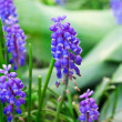 Violet lily of valley with green leafs — Stock Photo