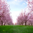 Stock Photo: Spring blooming cherry flowers