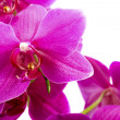 Stock Photo: Pink orchid flower