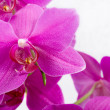 Pink orchid flower — Stock Photo