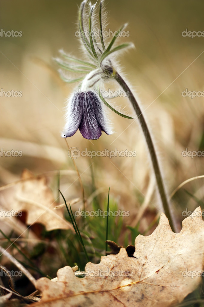 Black Pulsatilla - spring flower — Stock Photo #6810175