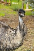 Big emu — Stock Photo