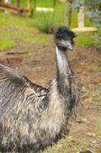 Big emu — Stock Photo