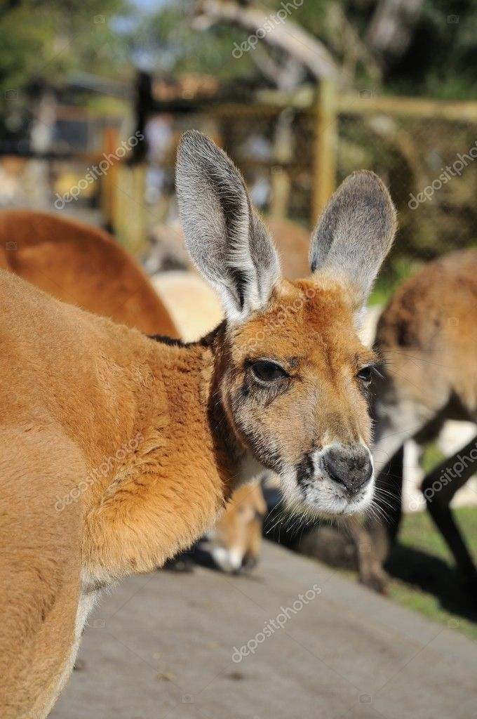 Portrait shot of brown kangaroo commonly found in Australia.  Stock Photo #6839238