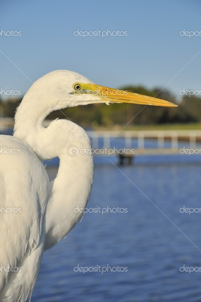 Portrait view of Great Egret bird waiting at a sea harbor. — Stock Photo #6839281