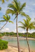 Tall coconut trees — Stock Photo