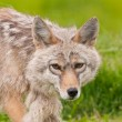 Alaskan red fox — Stock Photo