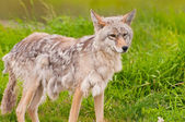 Beautiful Alaskan fox — Stock Photo
