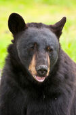 Huge black bear — Stock Photo