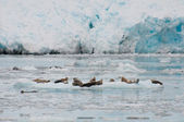 Seals on iceberg — Stock Photo