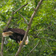 Bald eagle feeding — Stock Photo #7340190