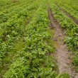 Rows of crops growing — Stock Photo