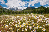 White daisies and Mount Robson — Stock Photo