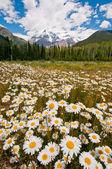 White daisies in full bloom — Stock Photo