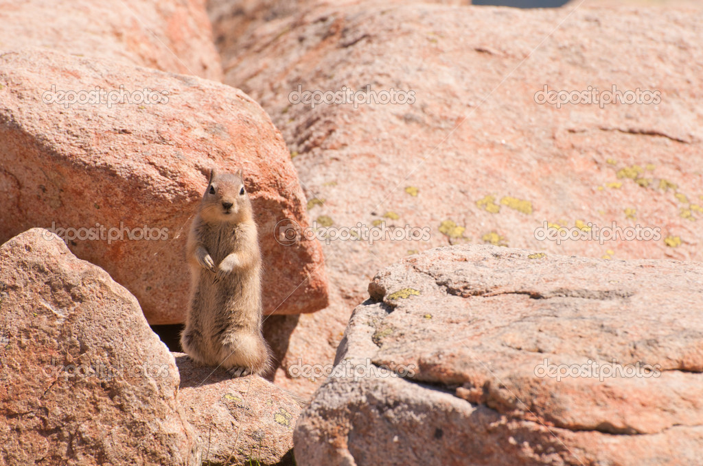 Little brown chipmunk on large rock begging for food. — Stock Photo #7727801