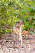 Singing chipmunk — Stock Photo