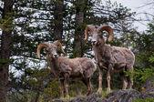 Bighorn sheeps — Stock Photo