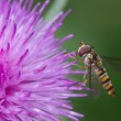 Hoverfly in Profile — Stock Photo #6827820