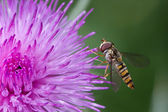 Hoverfly in Profile — Stock Photo